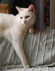 Charlie (rootcrop54) Tags: charlie white allwhite male cat rescue window lounging macska kedi 猫 kočka kissa γάτα köttur kucing gatto 고양이 kaķis katė katt katzen kot кошка mačka maček kitteh chat ネコ oddeyed