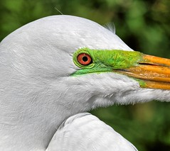 In the Breeding Cycle (Darts5) Tags: greategret whitebird whiteheron bird birds lore greenlore upclose closeup canon7d2 canon7dmarkll canon7dmarkii canon ef100400mmlll ef100400mm 7d2 7dmarkll 7dmarkii 7d2canon