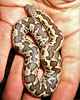 Eryc conicus (SnakeInMind) Tags: eryxconicus sandboa gongylophis snakes snake reptiles reptile rettili rettile serpenti serpente serpentes animals animali animale herps herp terrarium nature natura