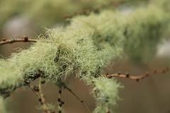 Lichen - Usnea spp.? (WhitePointer) Tags: lichen tree green usnea
