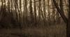 Secret Path to the sun (Coisroux) Tags: path sunshine treeline forest warmth sunrays sunbeam branches nature yelllows oranges pathway grasses treetrunk trunk vegetation dusk atmosphere landscapes walkway shadows light glow d5500 uk cambridgeshire hidden