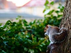 Squirrel 3 (Mirrorlessview) Tags: olympus penf squirel