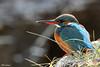 Martin-Pêcheur 170109-03-RP (paul.vetter) Tags: oiseau ornithologie ornithology faune animal bird martinpêcheur alcedoatthis eisvogel kingfisher
