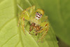 I'm suffering from red eye..... (Jenny Thynne) Tags: spiders prey lynxspider greenjumpingspider mopsismormon invertebrate oxyopes