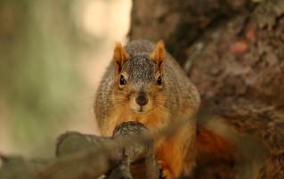 Squirrel, Morton Arboretum. 388 (EOS)