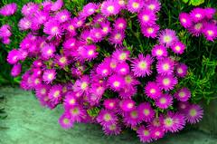 Rayitos de sol. (jagar41_ Juan Antonio) Tags: flores flor flora rayitosdesol