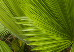 Palm leaves (Tim Ravenscroft) Tags: palm leaves tropical selbygardens botanical sarasota florida usa