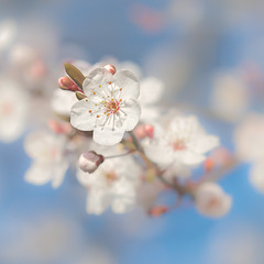 Blossom Clouds and Blue Skies (paulapics2) Tags: blossom spring sky clouds flowers flora floral pretty feminine soft pastel gentle outdoor depthoffield bokeh canoneos5dmarkiii sigma 105mm shallowdepthoffield garden tree petals stamens buds budding squareformat