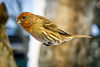 DSC09772 (nitchwick) Tags: bird finch housefinch