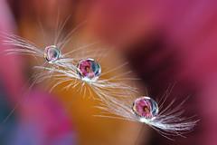 Dandelion (Marilena Fattore) Tags: dandelion tarassaco macro canon 650d tamron 90mm water waterdrops droplet fantasy closeup focus reflection bokeh pink softness flower garden