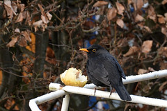 Hmm...... (Snoek2009) Tags: merel winter 2017 appel garden bird blackbird