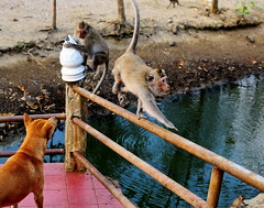 ,, Rocky & Primates ,, (Jon in Thailand) Tags: monkeys primate wildlife dog k9 swamp tails rocky jungle handrail nikon d300 nikkor 175528 stinkyswamp escape littledoglaughedstories