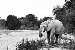 Elephant in black and white (claudio g) Tags: bw canon 40d elefante leopardo biancoenero landscape elephant leopard macchie southafrica sudafrica safari wildlife wild