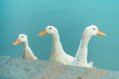 Ducks (Raja V) Tags: pond blue india chennai photowalk thiruvanmiyur lake yellow birds