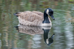 Canadian goose reflect (dave_poth) Tags: