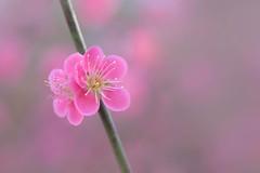 douceur du printemps (christophe.laigle) Tags: rose printemps fleur macro xf60mm pink flower fuji douceur xpro2 softness christophelaigle japanese apricot japaneseapricot bokeh