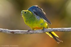 Orange-bellied Parrot (danielvenema) Tags: orange bellied parrot neophema chrysogaster melaleuca tasmania australia bird animal wildlife nature endangered critically threatened vulnerable rare