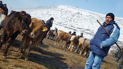 kars hayvan pazarı
