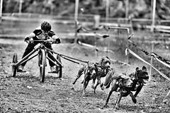 (Marcin Krawczyk) Tags: animals dogs sports blackandwhite monochrome marcinkrawczyk
