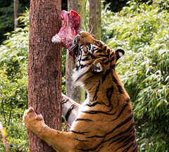 Tiger, tiger burning bright (Brian Copeland Photography) Tags: uk trip vacation england cat zoo feeding unitedkingdom tiger meat gb lindalinfurness uksummerfestival southlakessafarizoo