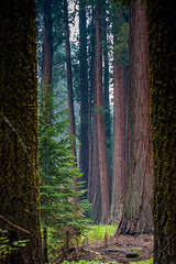 Giant forest (tozaw) Tags: tree nature forest giant sequoianationalpark seqoia