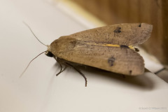 20150825-_N9A2496.jpg (whereamihere) Tags: moth places chebeague insectsandspiders largeyellowunderwingnoctuapronuba 1unknownmoth
