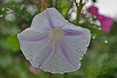 Prachtwinde im Regen (Uli He - Fotofee) Tags: nikon rosen makro rosenblatt garten uli ulrike regen wein frauenmantel sommerregen ringelblume hergert prachtwinde nachdemregen nikond90 gartenparadies fotofee amtagalsderregenkam ulrikehe ulrikehergert ulihe