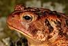 American Toad (Anaxyrus americanus) (jd.willson) Tags: nature field island bay wildlife maine frog american toad jd penobscot herps bufo willson americanus islesboro fieldherping herping anuran amphibain anaxyrus jdwillson