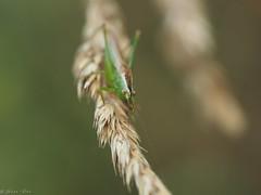 Day 1 & 2 (Monday & Tuesday) (jesse_the_ros) Tags: france green nature walking photography oak bush hiking olympus cricket explore grasshopper tettigoniidae auvergne meconema thalassinum buxièreslesmines saintaubinlemonial