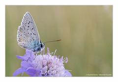Argus Bleu (Ouistiti.Cheese) Tags: france macro animal butterfly bug insect europe papillon alsace fr insecte polyommatusicarus obernai hautrhin argusbleu azurdelabugrane azurcommun mondeminusculeflickr