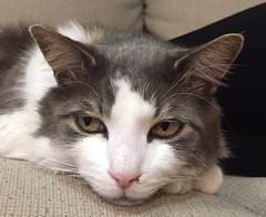 (Simon_sees) Tags: pet animal cat eyes domestic