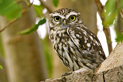 Little Owl (Scuba`Steve`) Tags: