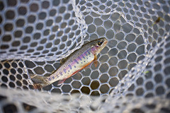 rainbow in a net ( explore ) (G_Anderson) Tags: fall river outdoors fly rainbow fishing trout montauk current misouri