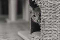 Boni (leporcia) Tags: blackandwhite cats blancoynegro animals cat kitty gatos gato animales katze gatto katzen boni