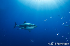 20151001-165712-269-Edit (andy_deitsch) Tags: mexico sharks 2015 guadalupeisland