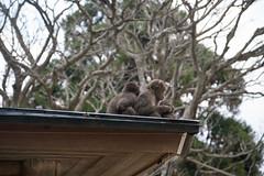 Takasakiyama Monkey Park, Oita, Kyushu, Japan 高崎山モンキーパーク (silkylemur) Tags: japan monkey monkeys macaco fullframe canoneos animalia mammalia saru oita さる kyushu primates takasaki サル 6d snowmonkey 九州 japanesemacaque monkeypark takasakiyama japanesemonkey 猿 macaca chordata macacafuscata キャノン cercopithecidae ニホンザル efmount nihonzaru マカク属 canon6d oitaprefecture 일본원숭이 японский サル目 canoneos6d ãã£ãã³ 哺乳綱 macacojaponés macacogiapponese macacodecararoja オナガザル科 макак ホンドザル японскиймакак ลิงกังญี่ปุ่น khỉnhậtbản キャノンレンズ efマウント efマウントレンズ キヤノンeos6d efãã¦ã³ã efãã¦ã³ãã¬ã³ãº ãã£ãã³ã¬ã³ãº ãã¤ãã³eos6d مكاكيابانيמקוקיפני