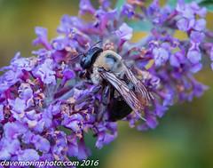10-13-2015 uxbridge 2-2776.jpg (davemorinphoto.com) Tags: canal massachusetts bee pick uxbridge riverbendfarm riverandcanal 2016libraryshowfeb 03172016sbcc