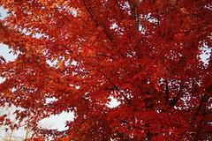 Maple Tree (DVS1mn) Tags: county autumn trees fall minnesota fallcolors autumncolors mn willmar 2015 kandiyohi