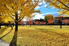 DSC_5022~3 explore autumn (michaeliao27) Tags:  maples