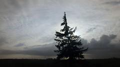 Freistehende Fichte auf einer Viehweide; Meggerdorf Stapelholm (6) (Chironius) Tags: stapelholm meggerdorf schleswigholstein deutschland germany allemagne alemania germania    ogie pomie szlezwigholsztyn niemcy pomienie coniferales koniferen pinaceae kieferngewchse piceoideae fichten picea baum bume tree trees arbre  rbol arbres  rboles albero  rvore aa boom gegenlicht trd silhouette