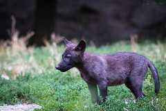 Wolf puppy (Cloudtail the Snow Leopard) Tags: lake animal puppy mammal wolf jung timber great bad young deer eastern lupus tier wildpark timberwolf welpe lycaon canis mergentheim sugetier lupuslycaon