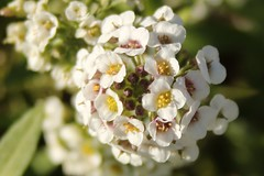 5Q7A5053 (smo2000) Tags: white flower fall yellow pattern sweet outdoor tiny bunch kansas organic middle alyssum