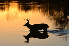 Buck Crossing (NaturalLight) Tags: sunset male reflections deer kansas buck wichita whitetail chisholmcreekpark