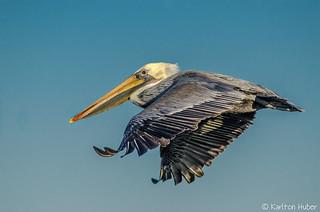 Brown Pelican Gliding - 2252