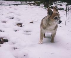 Sage the Snowdog (Jake Arciniega) Tags: portrait snow chihuahua oregon portland landscape outdoor pnw columbiagorge emeraldfalls pomchi gortoncreekfalls canon7d vscofilm vscocam