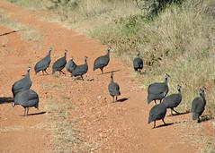 Guinea Fowl, Kenya (Amethinah) Tags: 2012 africa kenya elkaramaecolodge laikipia bird guineafowl