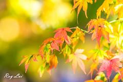 IMG_1687 (CBR1000RRX) Tags: 650d canon taiwan travel tourist landscape maple leaf autumn