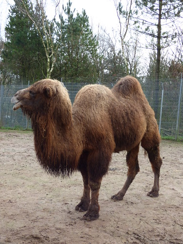 South Lakes Zoo - bactrian camel