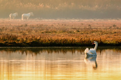 Golden morning (Sergio '75) Tags: december outside italy italia canon canoneos70d sigma150600mmf563dgoshsmc swan horses nature natura natur naturaleza naturallight natural lagoon laguna isoladellacona morning animals wildlife mist colours sigma dof sunrise dawn sergio75 sergio