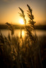 Evening colour at Snape (Southwold Photography) Tags: fe suffolk alde beautiful beauty bokeh calm coast color colorful colour colourful destination dusk eastanglia england evening glow holiday landscape marsh natural nature noperson orange outdoors peaceful reedbed reeds river serene sky snape sonnartfe1855 sony sonya7 sonyfe55f18 sonyimages sun sunset tranquil uk vacation warmth water zeiss suffolkcoastaldistrict unitedkingdom gb